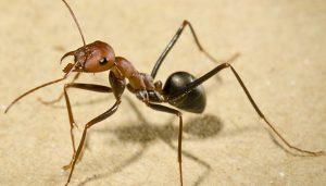 se débarasser des fourmis